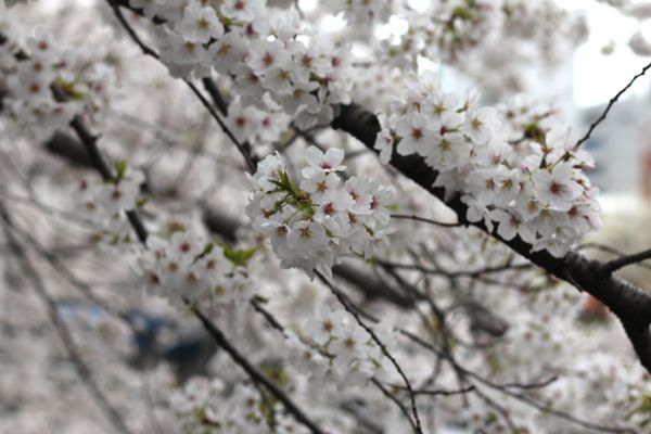 cherry blossoms from www.alyssaandcarla.com