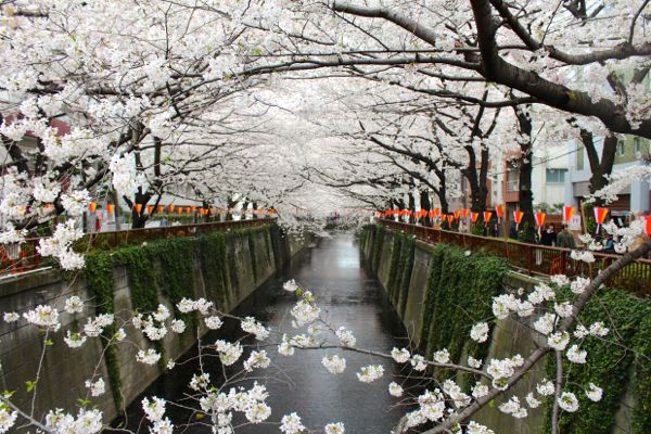 cherry blossoms on the meguro river from www.alyssaandcarla.com